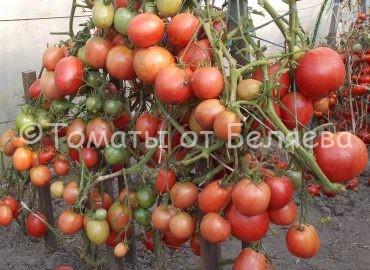 Томат Настена купить семена