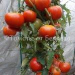 лучшие высокорослые томаты