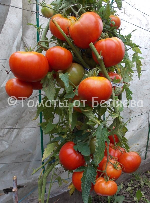 Семена томатов от частных коллекционеров Томат Придорожный