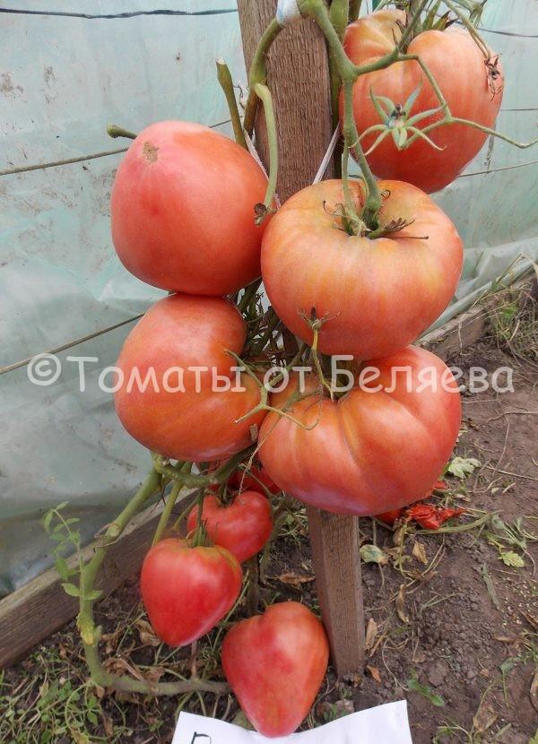 Томат Башкирский красавец семена купить
