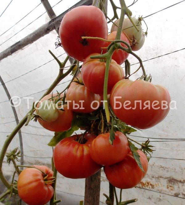 Семена томатов от частных коллекционеров Томат дакота португальская