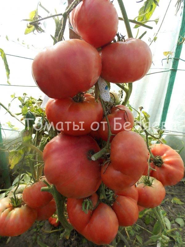 Семена томатов от частных коллекционеров Томат гигант черноморский
