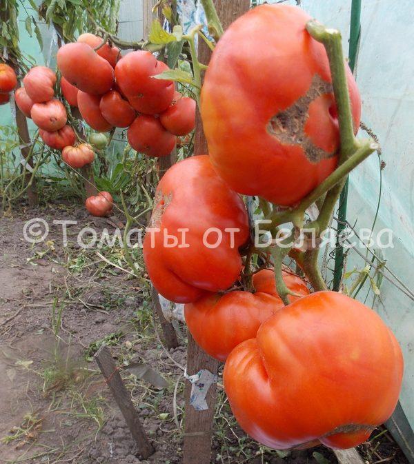 Томат Король ранних семена купить