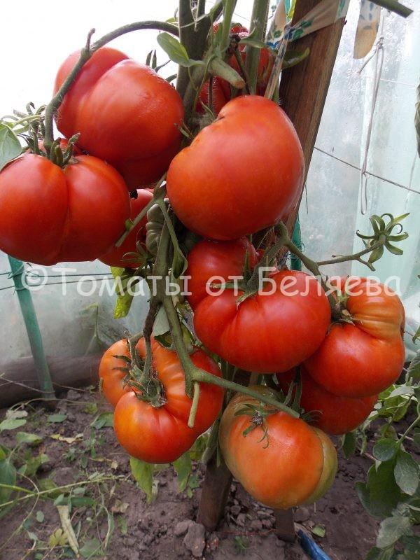 Семена томатов от частных коллекционеров Томат Красный коршун