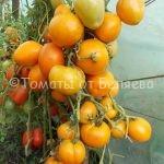 Вкусные урожайные томаты