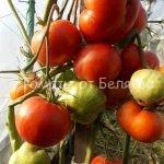 лучшие высокорослые урожайные томаты