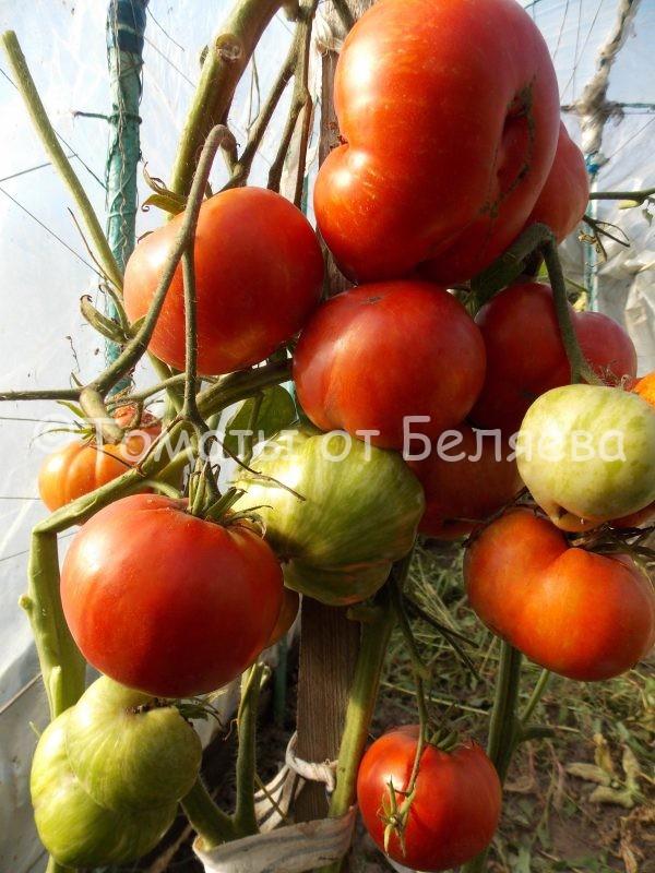 Семена томатов от частных коллекционеров Томат полосатый кабан