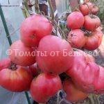 Редкие коллекционные семена томатов