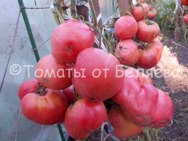 Томат Розовый маяк семена купить