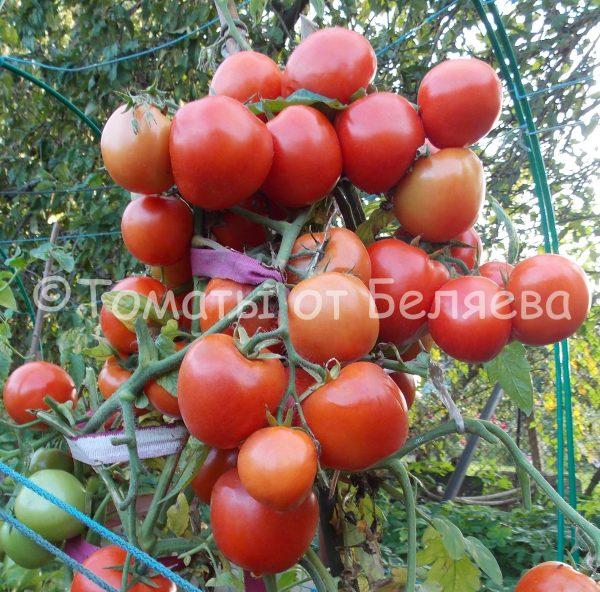 Семена томатов Скороспелка Челябинская купить