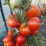 Лучшие урожайные низкорослые томаты