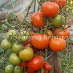 лучшие низкорослые томаты