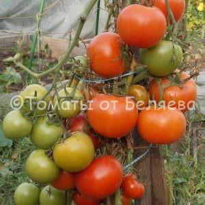 Семена томатов Японский карлик купить