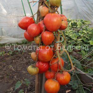 Семена томатов от частных коллекционеров Томат Алсу