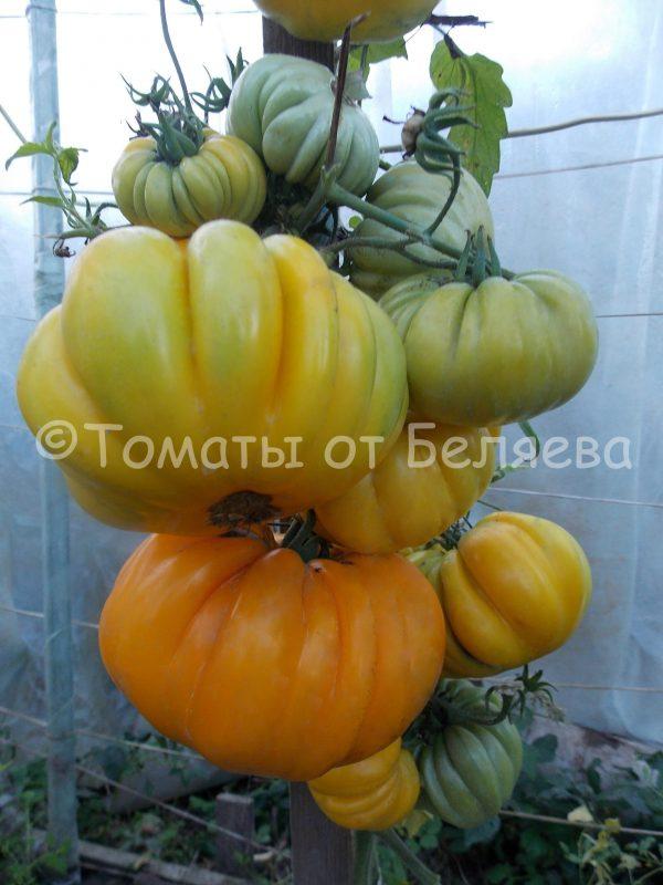 Томат Американский ребристый Семена томатов от частных коллекционеров