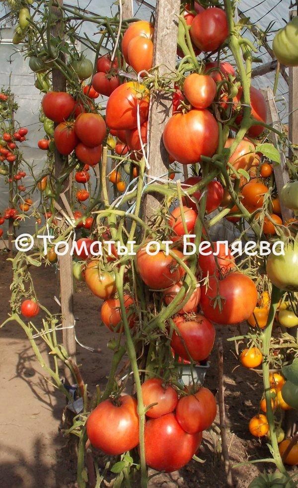 Семена томатов Биг-бой купить