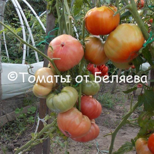 Семена томатов Большой Зак ФОС купить