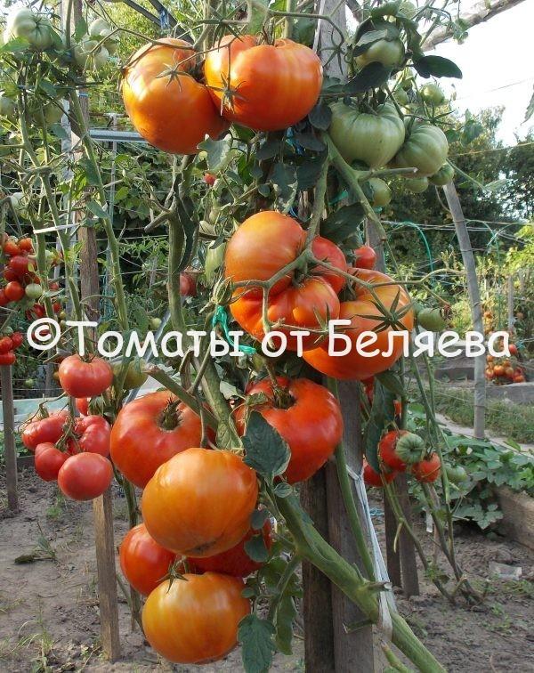 Семена томатов Большой Зак ЛА РЮ купить