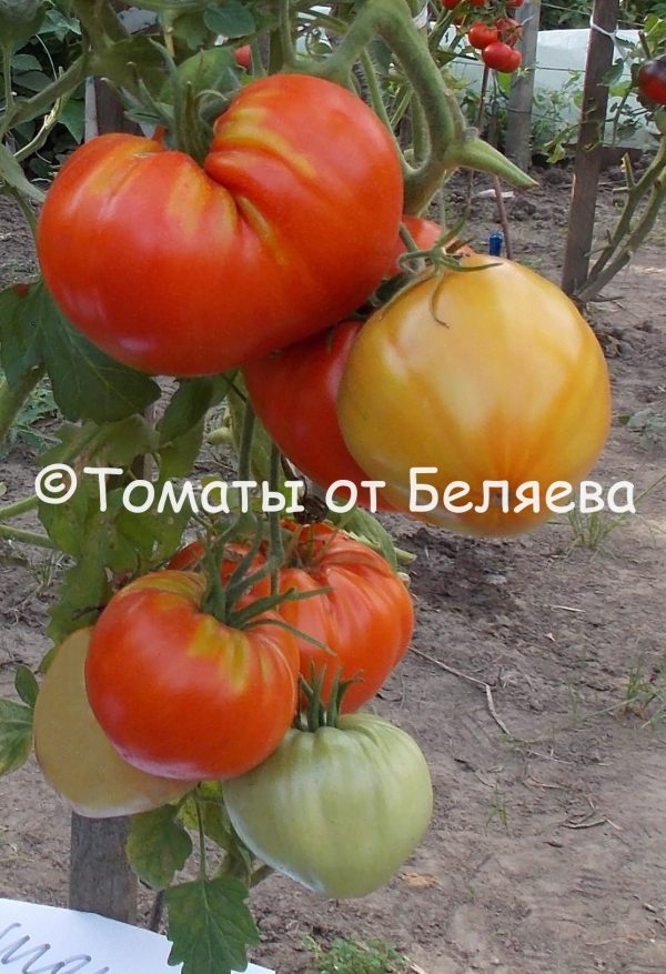 Семена томатов Большой Зак РЮ купить