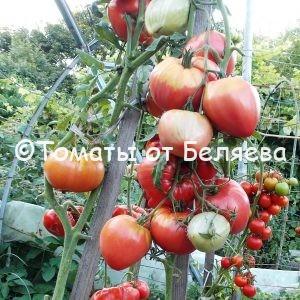 Семена томатов Бычье сердце Майкла Ларри купить
