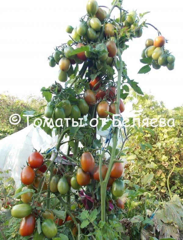 Редкие коллекционные семена томатов купить Томат Де Борао черный