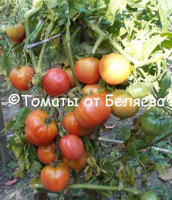 Томат Гейша семена купить