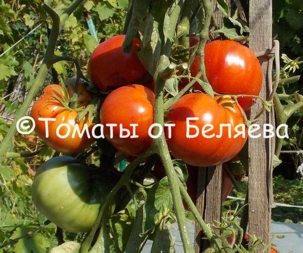 семена томатов от частных коллекционеров Томат Гигантский коршун