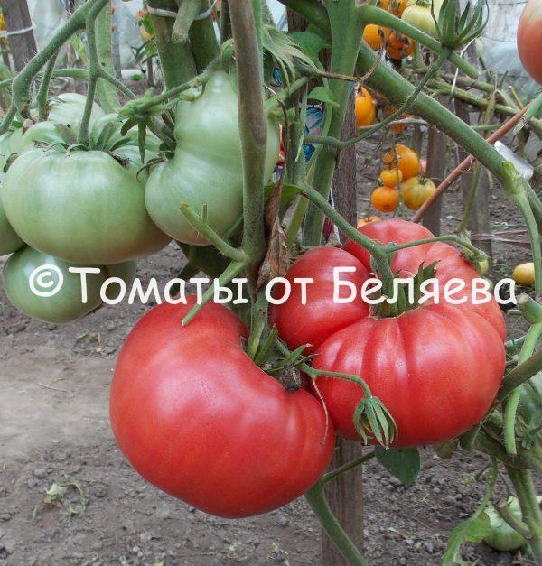 Семена томатов от частных коллекционеров Томат Глушь