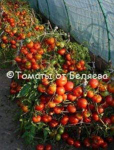 Где Какие семена томатов купить