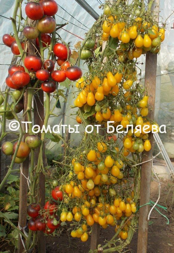 Семена томатов от частных коллекционеров Томат Каскад лава