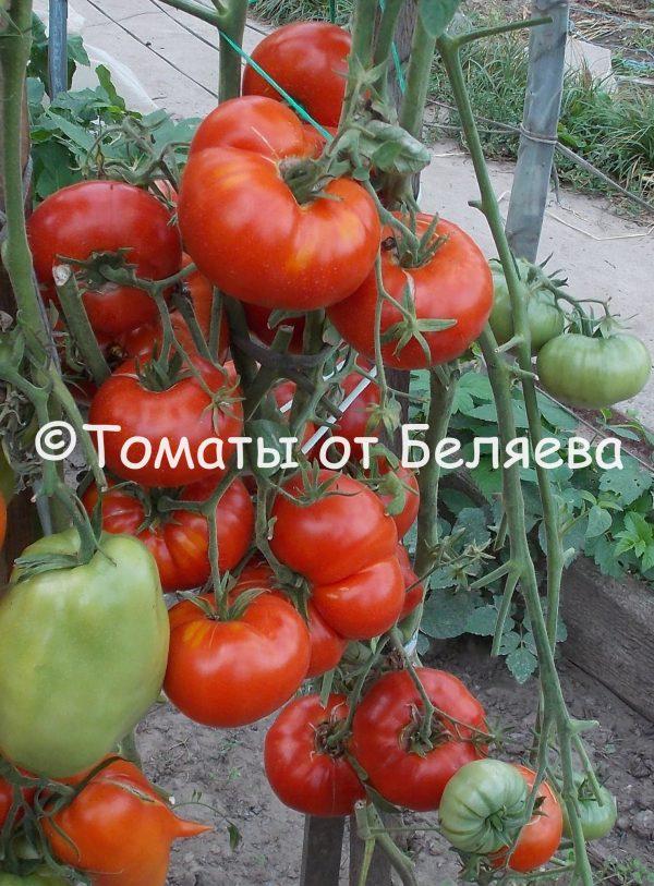 Редкие коллекционные семена томатов купить Семена томатов от частных коллекционеров Томат Конни