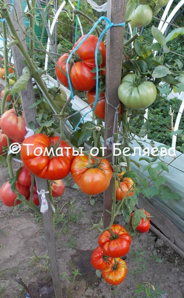 Редкие коллекционные семена томатов купить Семена томатов от частных коллекционеров Томат Констанция