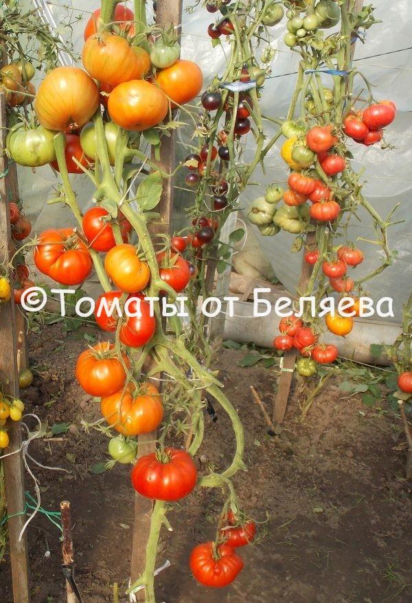 Редкие коллекционные Семена томатов от частных коллекционеров семена томатов купить Король гигантов