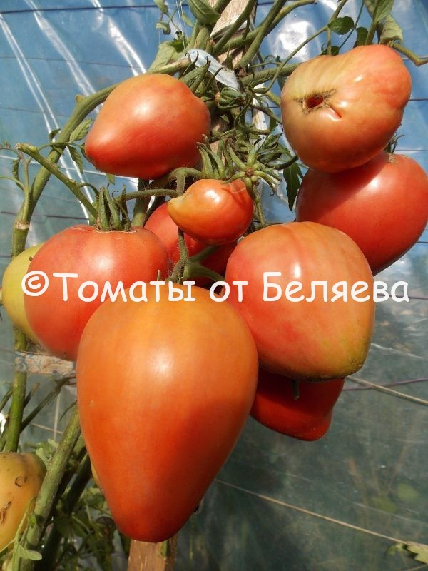 Редкие коллекционные семена томатов купить Томат Король Лондона