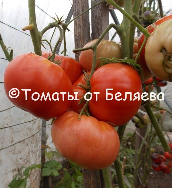 Семена томатов от частных коллекционеров Томат Красное сердце