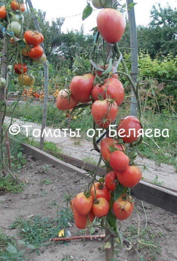 Семена томатов от частных коллекционеров томат Леди ди
