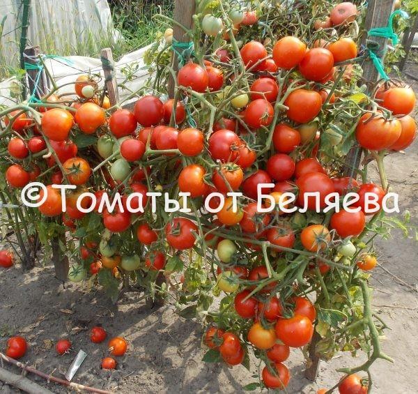 Томат Лина купить семена
