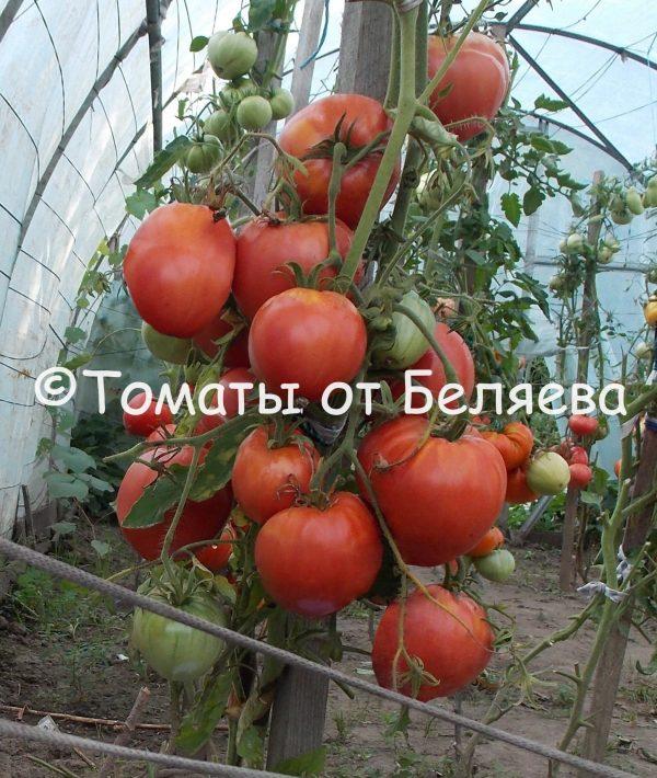 Семена томатов от частных коллекционеров Томат Мадьяр Пирос Бокер