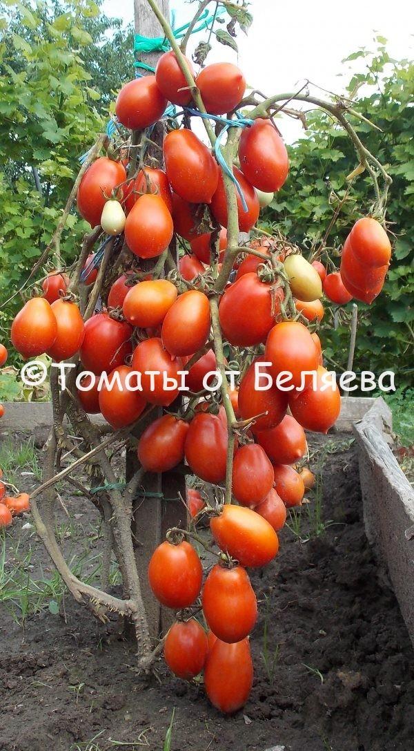 Томат Маригет семена купить
