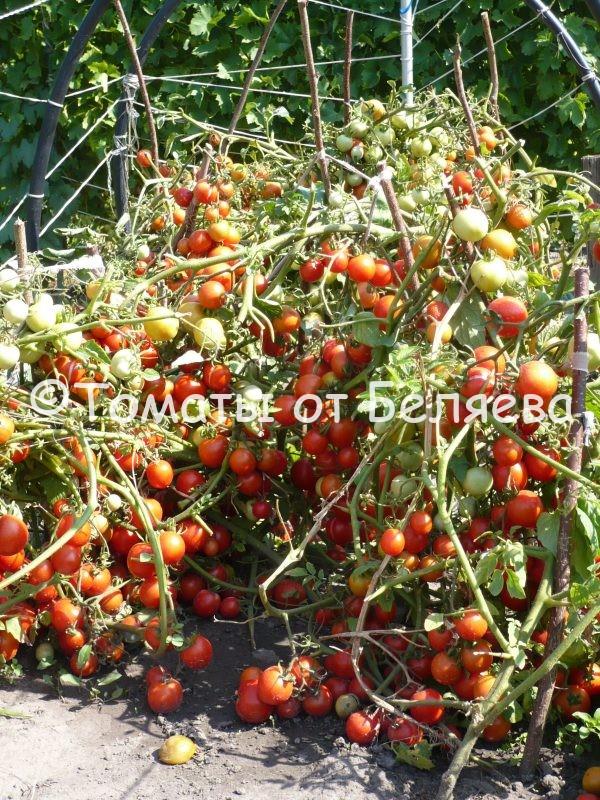 Томат Низкорослый Ранний-1 Семена томатов от частных коллекционеров