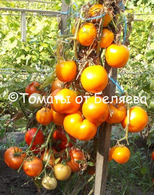 Томат Оранжевый копулер семена купить