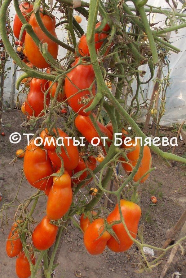 Семена томатов от частных коллекционеров Томат Перцевидный крупноплодный