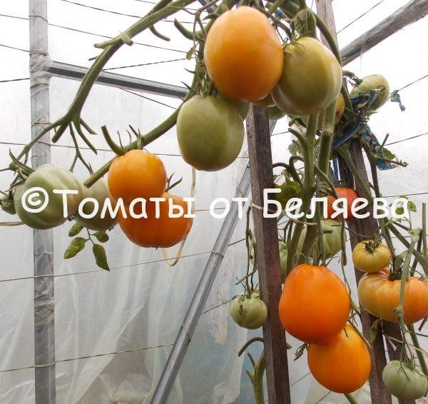 Семена томатов от частных коллекционеров Томат Персик