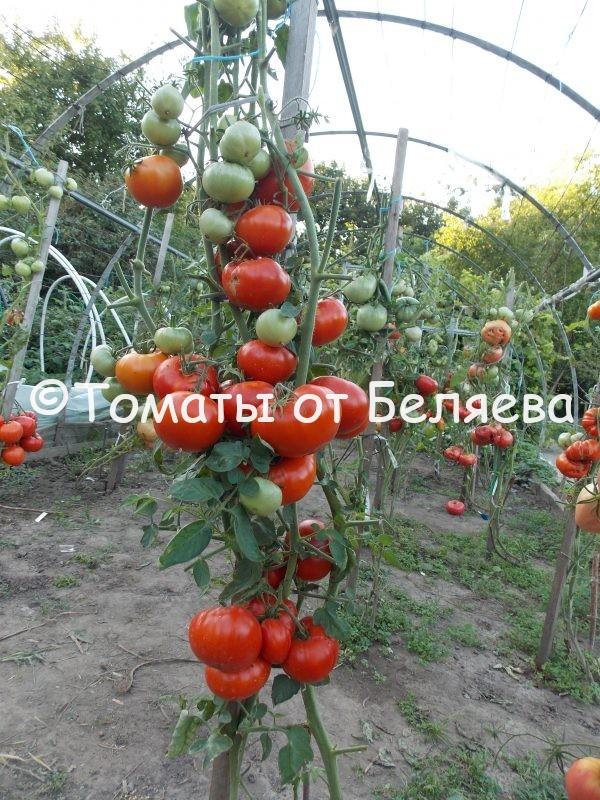 Семена томатов от частных коллекционеров Томат Пантано