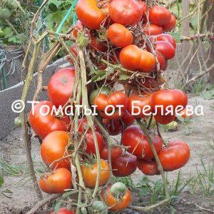 Томат Раннее чудо семена купить