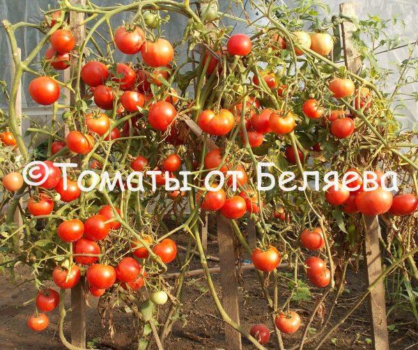 Редкие коллекционные семена томатов купить