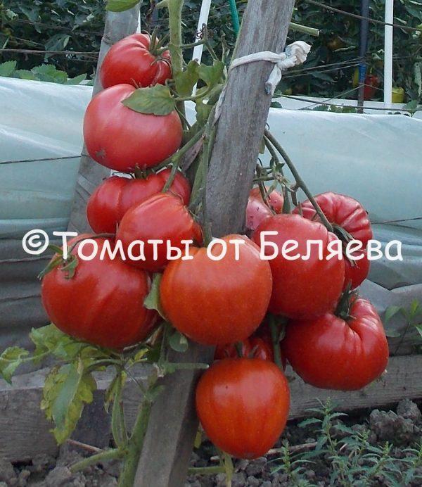 Семена томатов от частных коллекционеров Томат Рутгерс