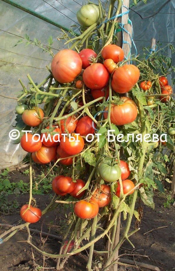 Семена томатов от частных коллекционеров Томат Семейный брэдли