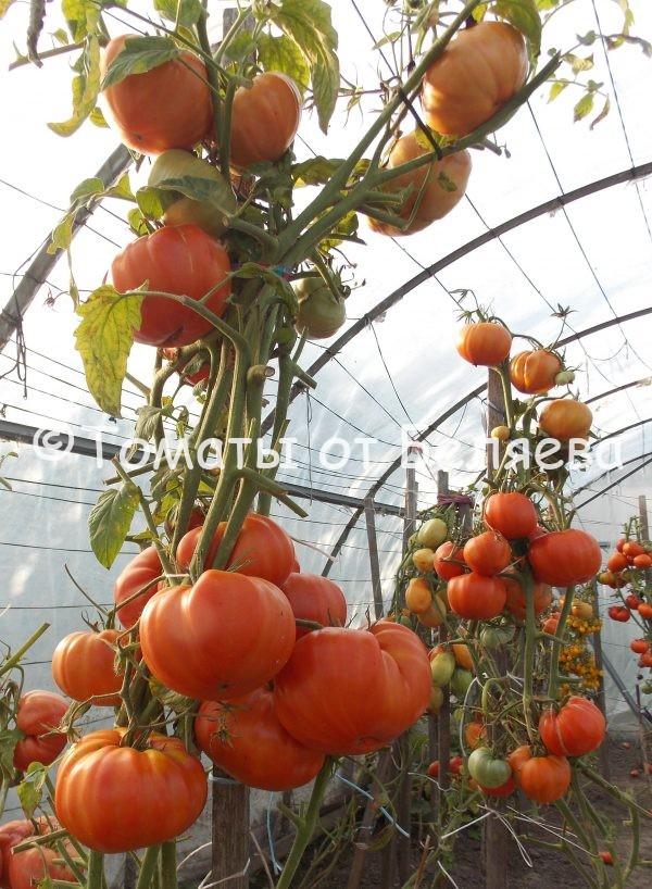 Семена томатов от частных коллекционеров Томат Шунтукский великан