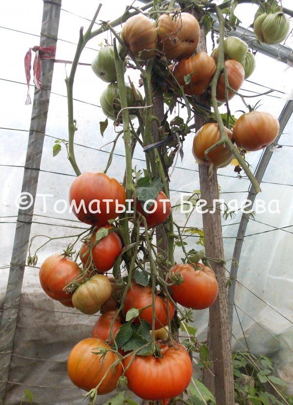 Семена томатов от частных коллекционеров Томат Синие озеро